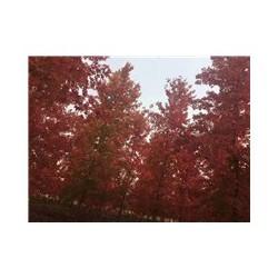 银红槭秋日传奇基地 银红槭秋日传奇批发 银红槭秋日传奇价格
